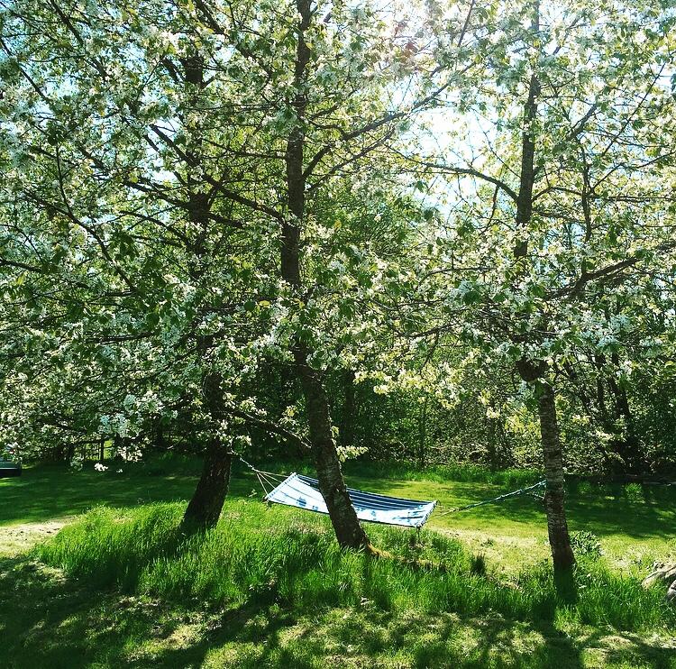 Hängmatta under blommande körsbärsträd